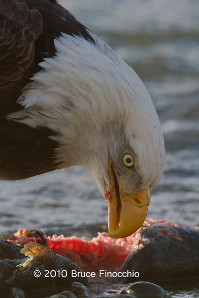 Bald Eagle Over Salmon by BruceFinocchio