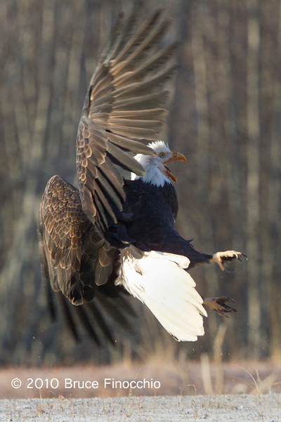 Bald Eagle Prepares For Combat by BruceFinocchio