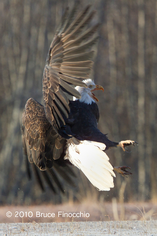 Bald Eagle Prepares For Combat