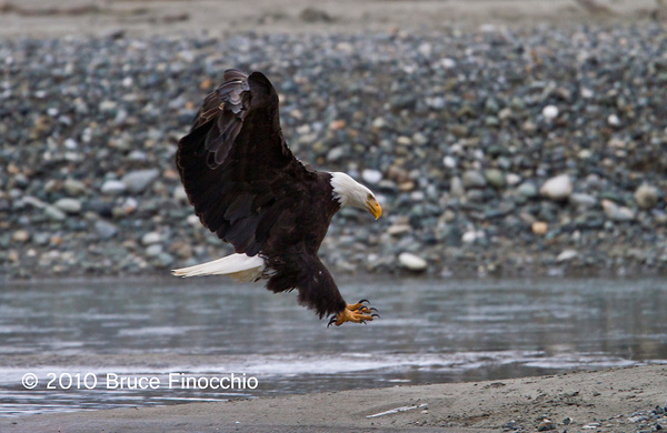 Bald Eagle Prepares For Landing on Chilkat River by...