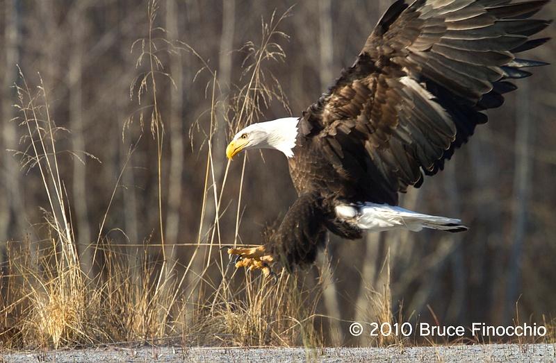 Bald Eagle Prepares For Landing