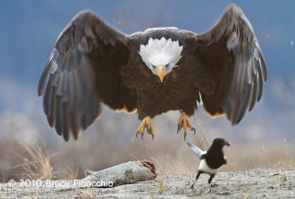 Bald Eagle Swoops In To Claim Salmon And Chase Away Magpie by BruceFinocchio