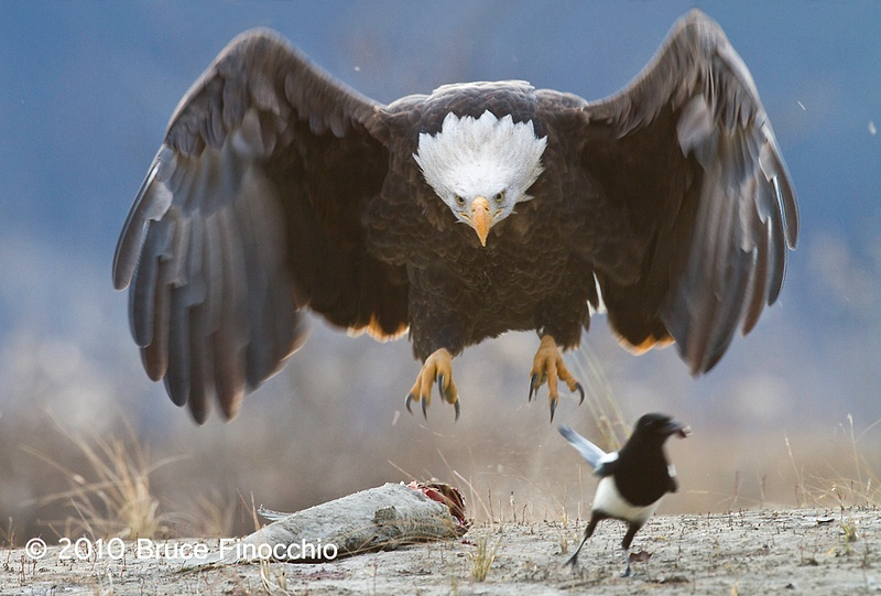 Bald Eagle Swoops In To Claim Salmon And Chase Away Magpie