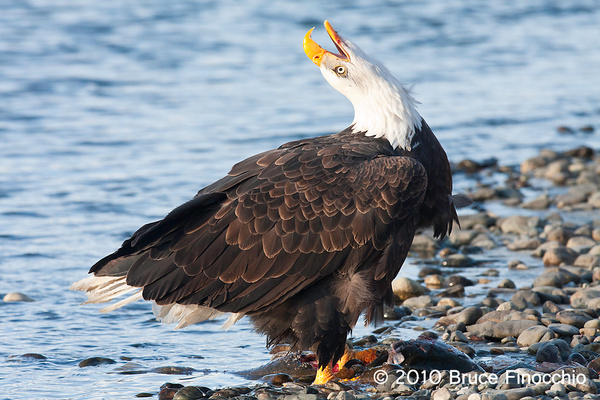 Bald Eagle Throws Its Head Back As It Calls Out by...