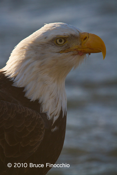 Beach Bald Eagle Portrait by BruceFinocchio