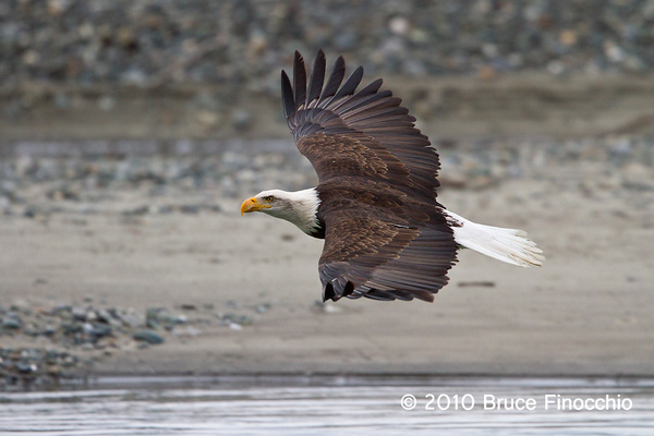 Power Of A Bald Eagle's Flight by BruceFinocchio
