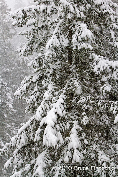 Snow On Spruce Tree Branches by BruceFinocchio