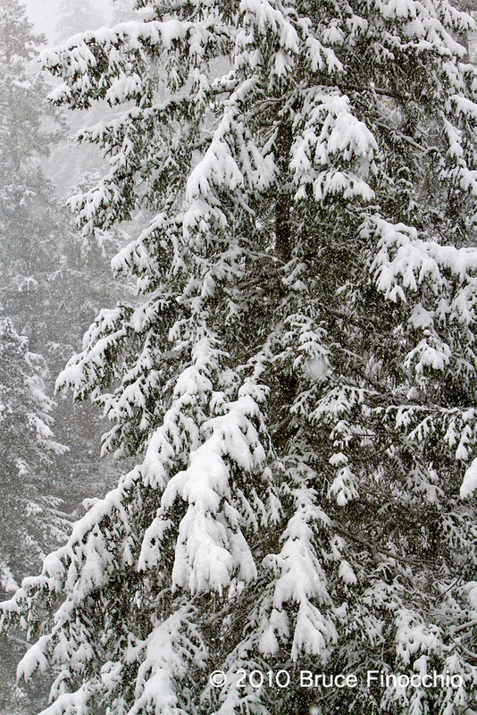 Snow On Spruce Tree Branches