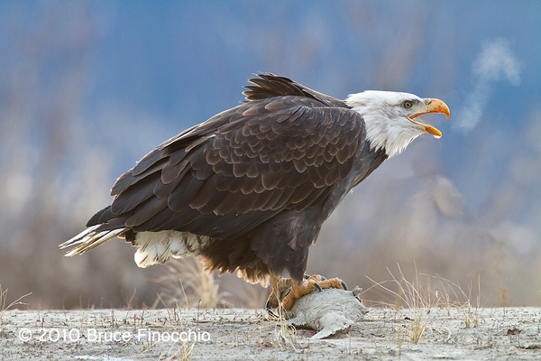 Steam and Water Droplet On Beak As Bald Eagle Claims Salmon_BA105818D7 by BruceFinocchio
