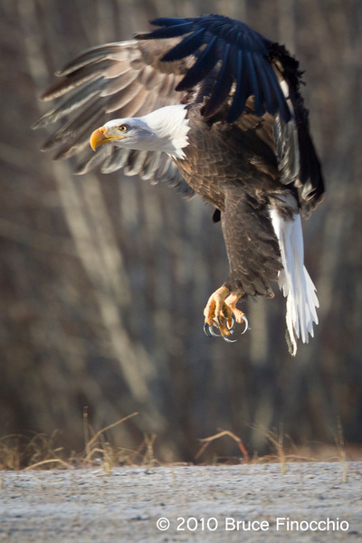 Talons Down by BruceFinocchio