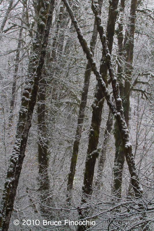 Tree Trunks In The Snow