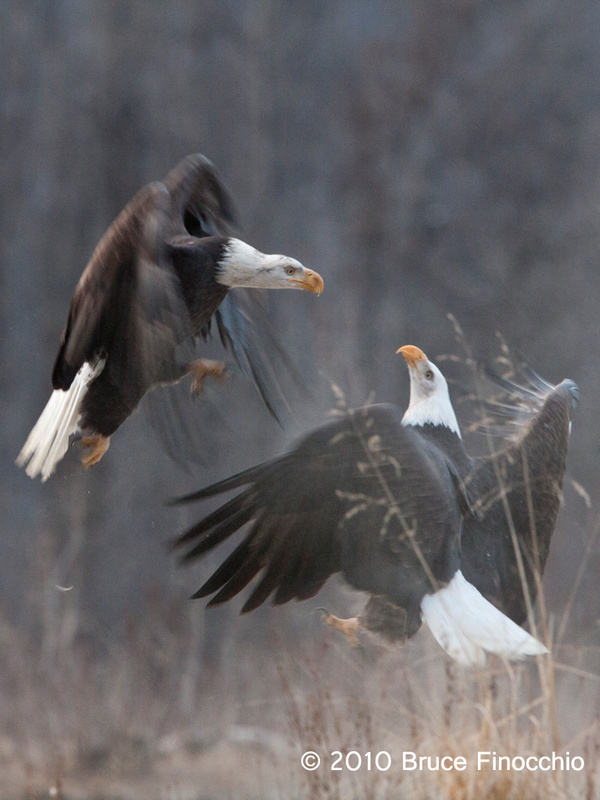 Two Eagle About To Tangle