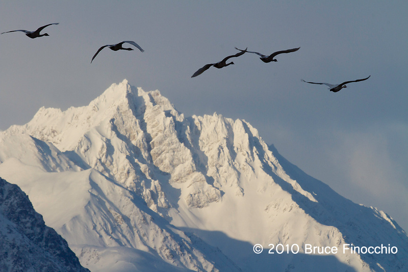 Tundra Swans Fly Between The Mountains