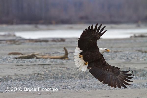 Chilkat Bald Eagle by BruceFinocchio
