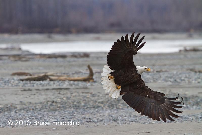 Chilkat Bald Eagle