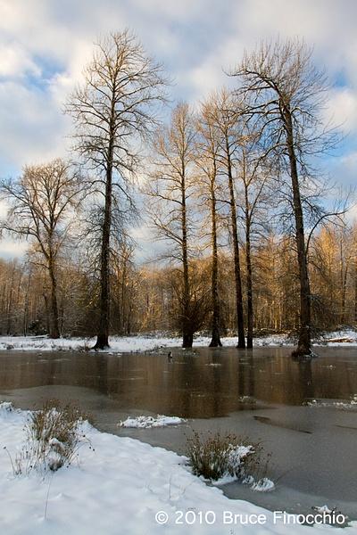 Cottonwoods Along A Pond In The Skokomish...