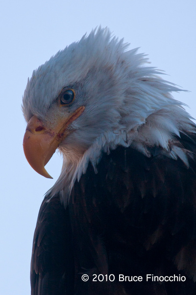 Eagle Portrait by BruceFinocchio