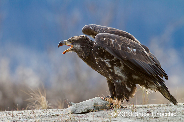 Immature Bald Eagle Prepares To Defend Salmon Prize by BruceFinocchio