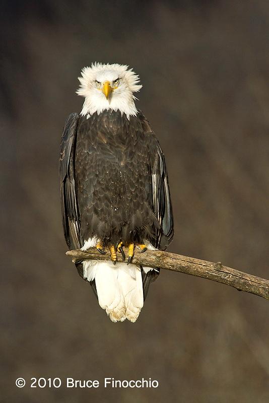 Wind Raises Bald Eagle's Head Feathers