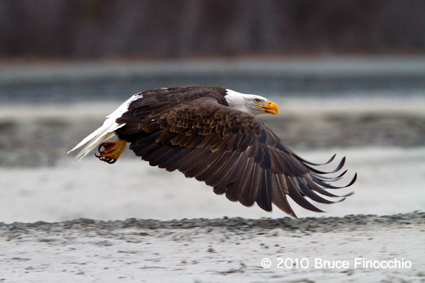 Wing Down Of A Bald Eagle by BruceFinocchio