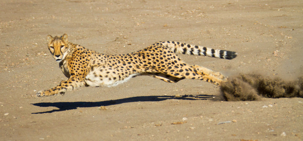 Male Cheetah At Full Stretch With Shadow and Dust by...