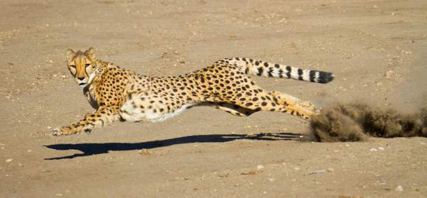 Male Cheetah At Full Stretch With Shadow and Dust
