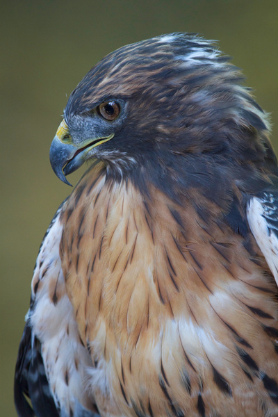 Red-tailed Hawk Portrait by BruceFinocchio