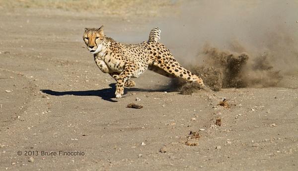 Cheetah In Full Flight Kicks Up Dust by BruceFinocchio