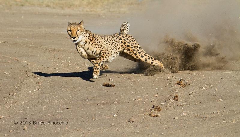 Cheetah In Full Flight Kicks Up Dust