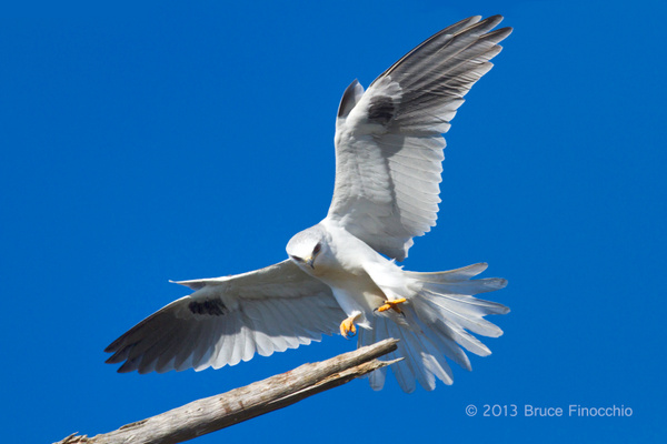 White-tailed Kite Landing On A Perch Branch