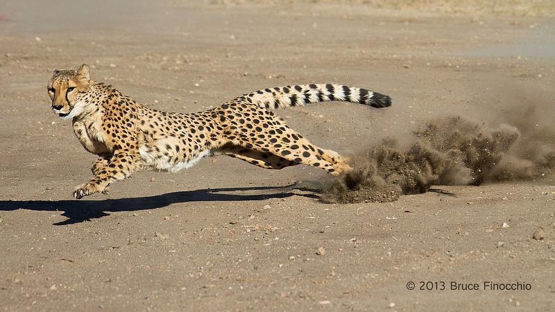 Male Cheetah At Full Run
