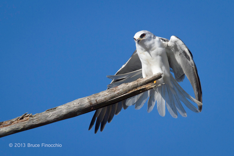 Adult White-tail Kite Doing A Wing and Tail Stretch