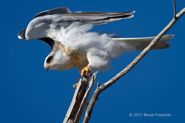 White-tailed Kite Stretches Wings While On Perch by BruceFinocchio