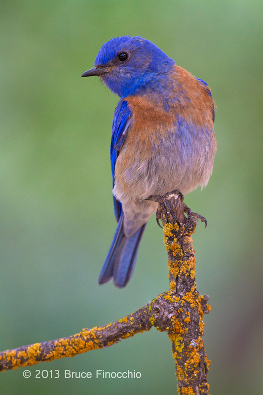 Male Bluebird Poses On A Orange Lichen Branch