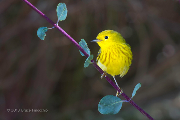 Male Yellow Warbler On White Honeysuckle Branch by BruceFinocchio
