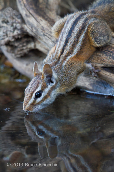 Merriam's Chipmunk Drinking and Reflection by...