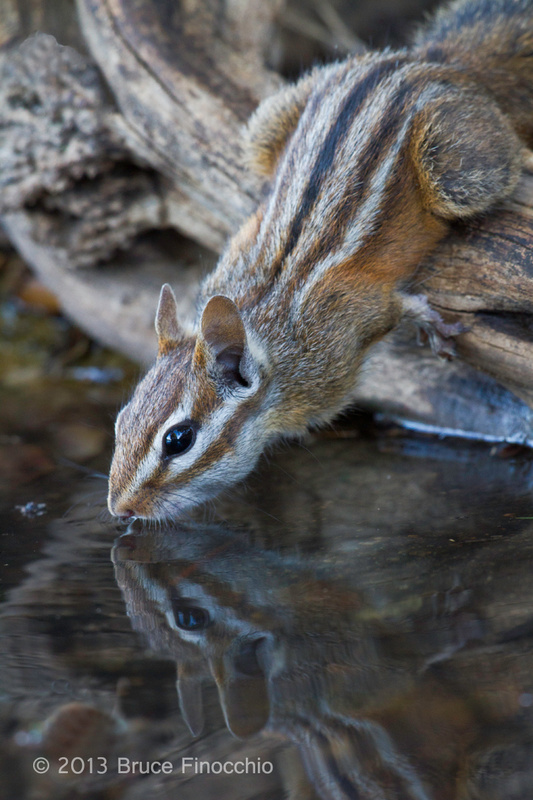 Merriam's Chipmunk Drinking and Reflection