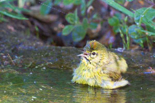 Orange-crowned Warbler Calls Out As He Bathes by BruceFinocchio