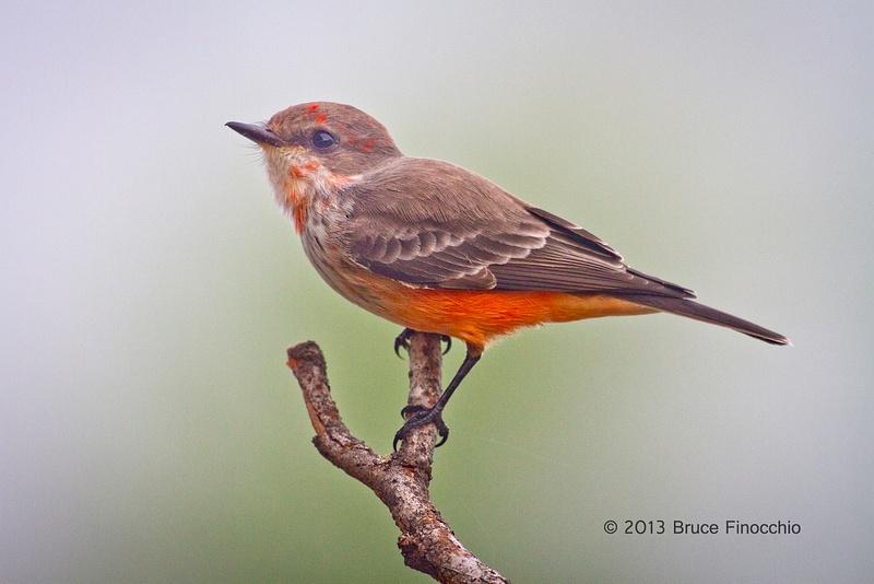 An Alert Immature Male Vermilion Flycatcher On Perch_BD122713D7c