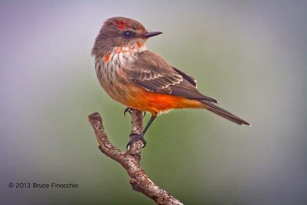 Immature Male Vermilion Flycatcher