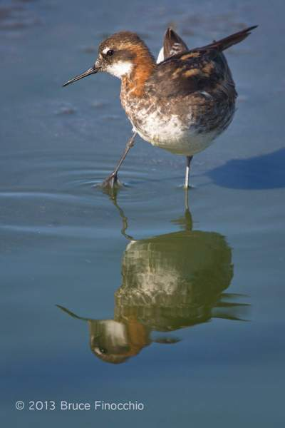 Male Red-necked Phalarope Twist Body As He Prepares to Preen_BD61453D7c