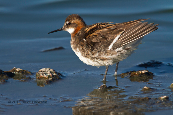 Red-necked Phalarope Ruffles Feathers Along The...