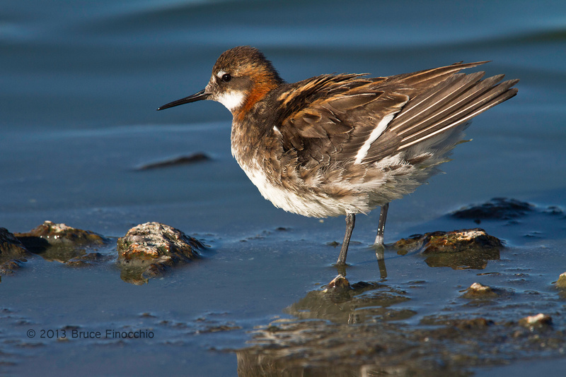 Red-necked Phalarope Ruffles Feathers Along The Shore_BD61987D7c