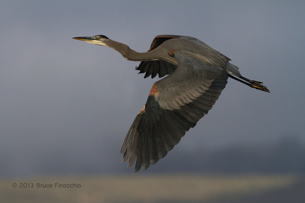 Great Blue Heron Climbing Into The Sky by BruceFinocchio