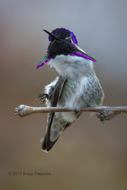 Young Male Costa's Hummingbird Contorts His Body As He Prepares To Scratch