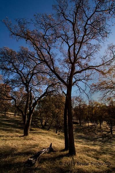 Black Oak Forest In Winter_BD146113D7c