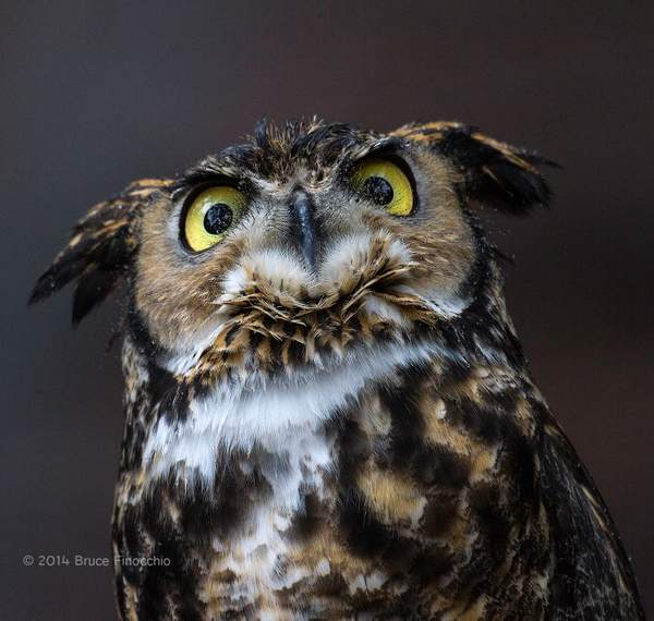 Great Horned Owl Looks Up