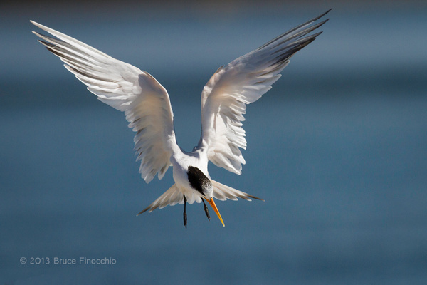 An Angel Like Royal Tern As It Prepares To Land by BruceFinocchio