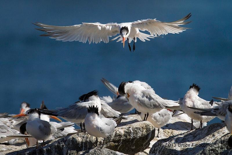 Elegant Tern Prepares To Land Among Preening Flock Of Terns