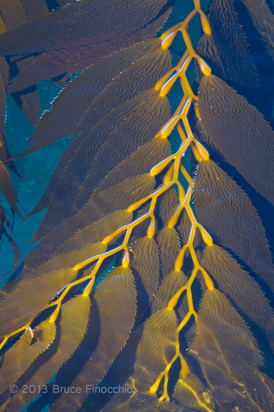 Giant Seaweed Aglow by BruceFinocchio